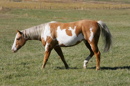 Paint Horse Grazing